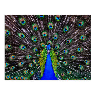 Peacock Art Postcard