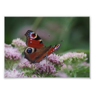 Peacock Butterfly Photo Paper