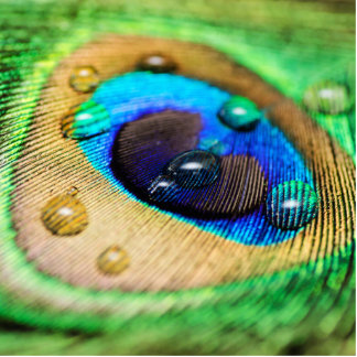 Peacock Feather Water Drops Macro Abstract Photo Standing Photo Sculpture