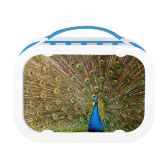 Peacock Lunch Box