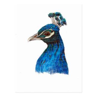 Peacock (Pavo cristatus) postcard by Nicole Janes
