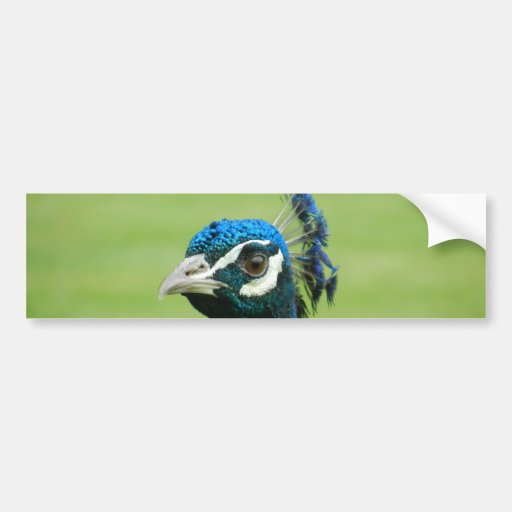 Peacock Photograph Bumper Sticker