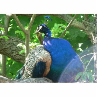 Peacock Photo Cutout