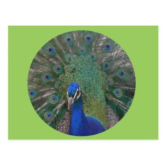 Peacock Postcard Customizable