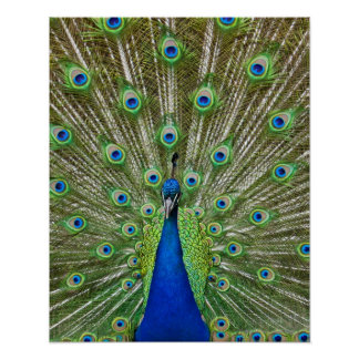 Peacock showing its feathers poster