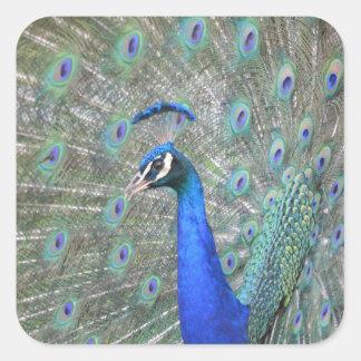 Peacock Square Sticker