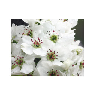 Pear Blossoms in Spring Stretched Canvas Prints