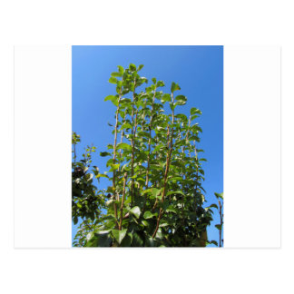 Pear tree branches postcard