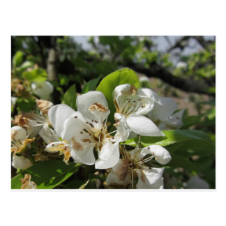 Pear tree branches with blossoms postcard