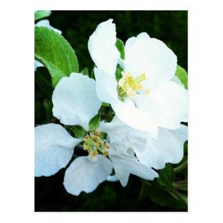 Pear tree flower postcard