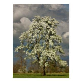 Pear tree in blossom postcard