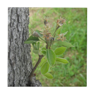 Pear tree twig with buds in spring  Tuscany, Italy Ceramic Tile