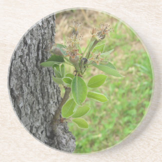 Pear tree twig with buds in spring  Tuscany, Italy Coaster