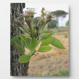 Pear tree twig with buds in spring  Tuscany, Italy Plaque