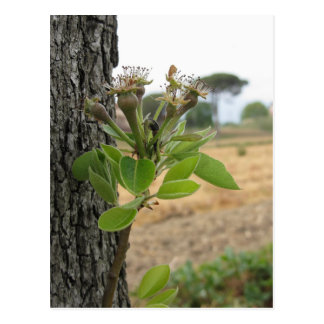 Pear tree twig with buds in spring  Tuscany, Italy Postcard