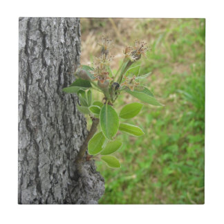 Pear tree twig with buds in spring  Tuscany, Italy Tile