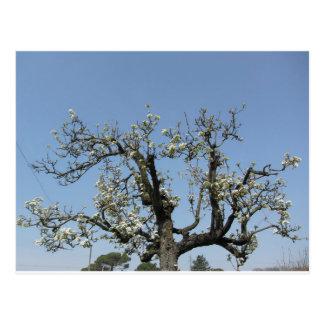 Pear tree with blossoms against the blue sky postcard