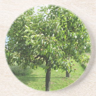 Pear tree with green leaves and red fruits coaster