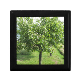 Pear tree with green leaves and red fruits gift box