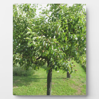 Pear tree with green leaves and red fruits plaque