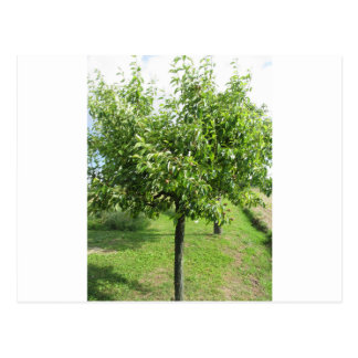 Pear tree with green leaves and red fruits postcard