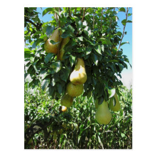 Pears on tree branches postcard