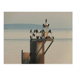 Pecking Order Postcard