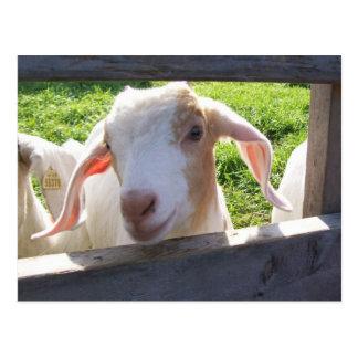 Peeking Goat Postcard