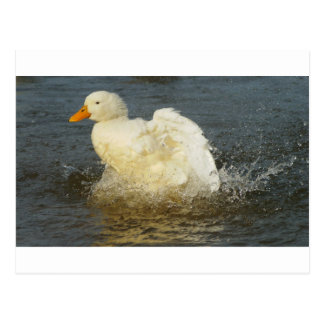 Pekin Duck IV Postcard