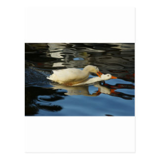 Pekin Duck V Postcard