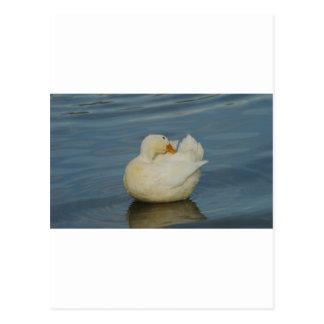 Pekin Duck VI Postcard