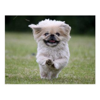 Pekingese dog cute photo postcard