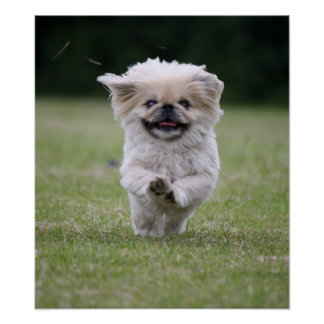 Pekingese dog poster print cute photo