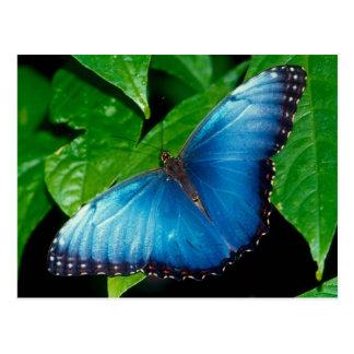 Peleides Blue Morpho (Morpho of peleides) Postcard