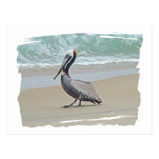 Pelican on Outer Banks OBX NC Post Card