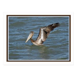 Pelican Stretch Postcard