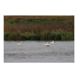 Pelicans At A Distance Poster