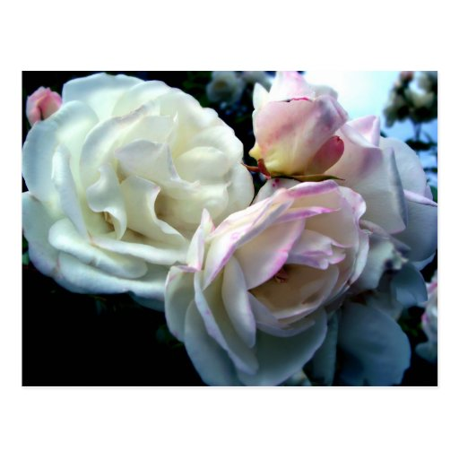 Penelope Roses Postcards