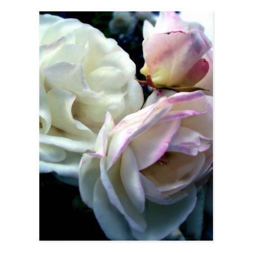 Penelope Roses Postcard