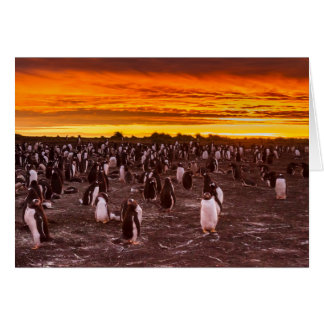 Penguin colony at sunset, Falkland Card