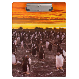 Penguin colony at sunset, Falkland Clipboard