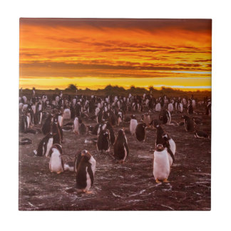 Penguin colony at sunset, Falkland Tile