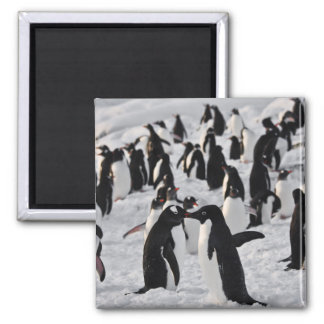 Penguins at Play Magnet