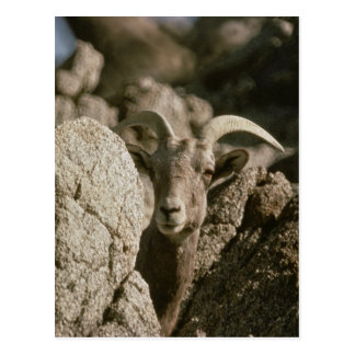 Peninsular Bighorn Sheep Post Cards
