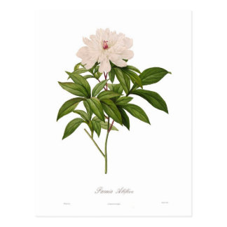 Peonia albiflora postcard