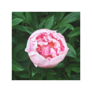 Peony canvas stretched canvas print