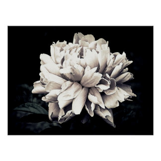Peony in Black and White Poster