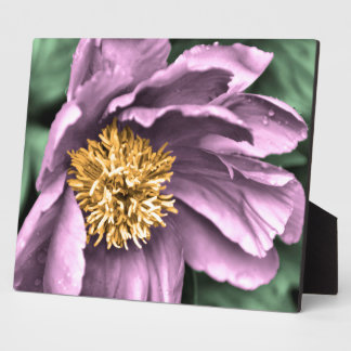 Peony Rain in Color Display Plaques