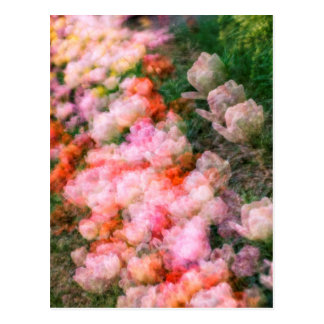 Peony Tulips in Full Bloom Postcard