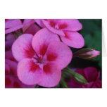 Peppermint Pink Geranium